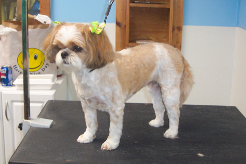 shih tzu hairstyles. Personality Clip on a Shih Tzu
