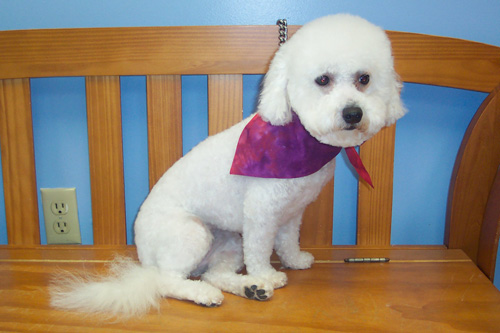 Bichon Cut Pictures