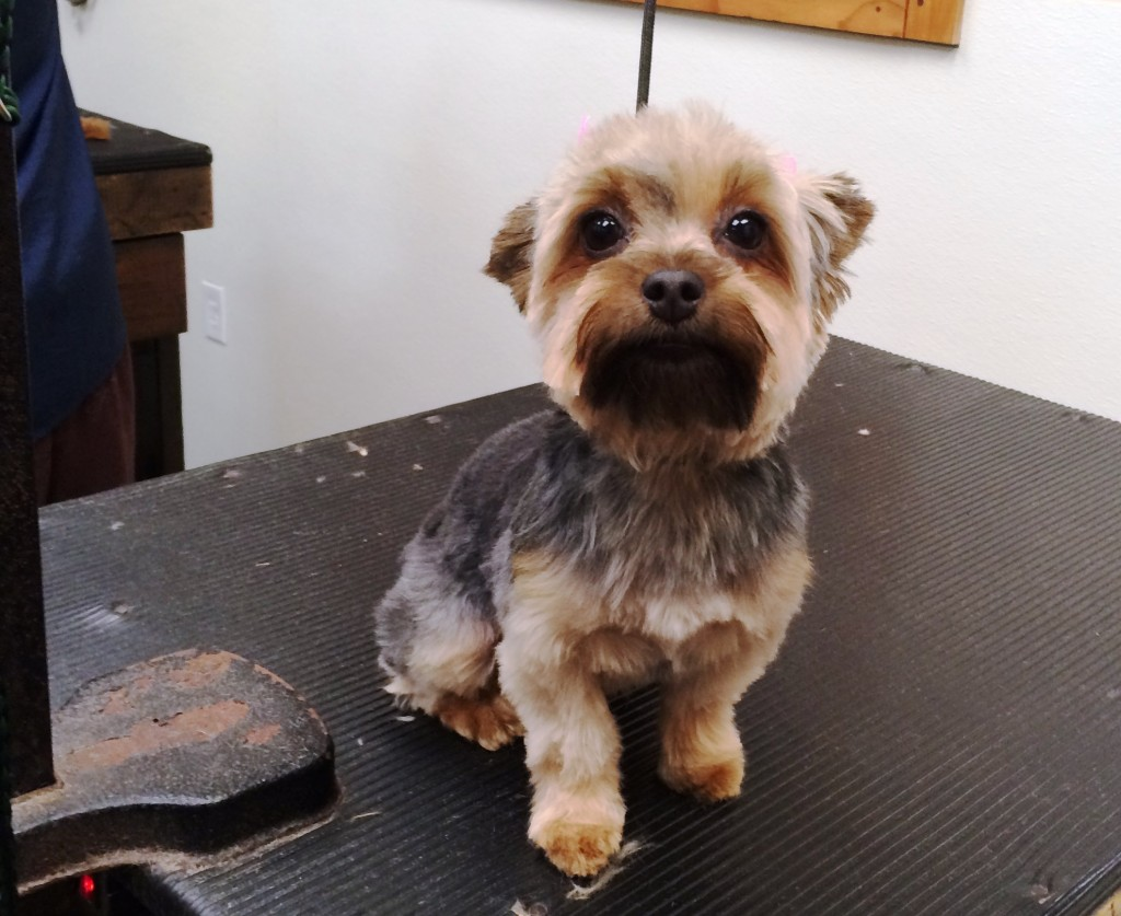 Yorkie Shaved Haircuts Related Keywords & Suggestions